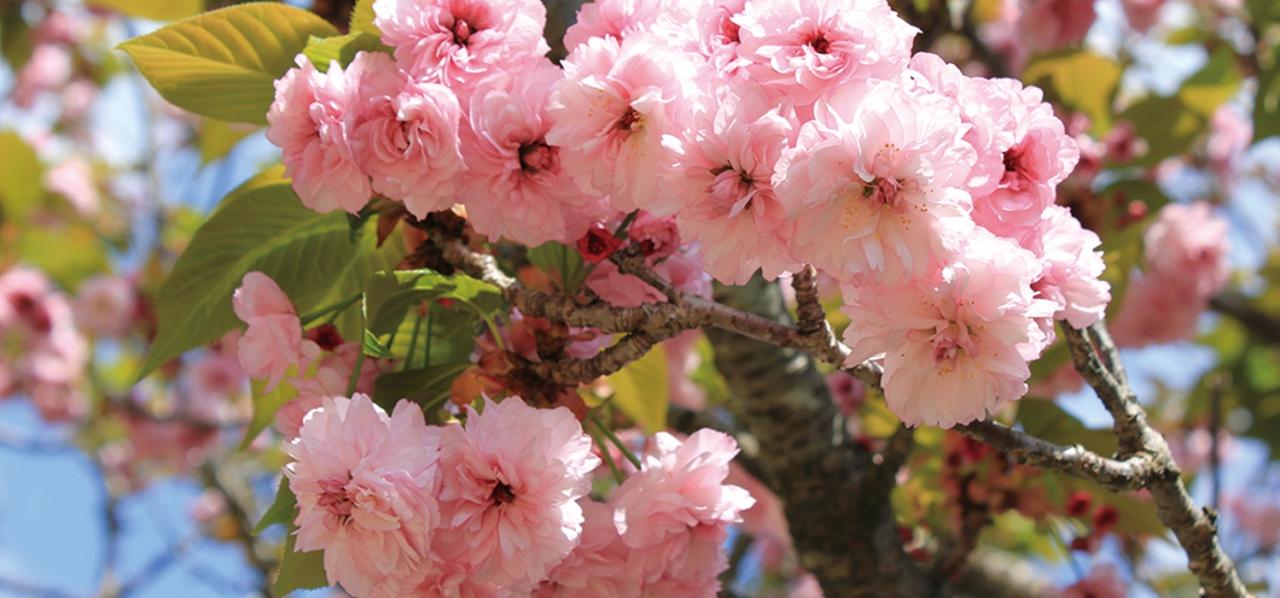 その美しさは、まさに日本の象徴 のんびりトコトコ花めぐり〔桜 ...